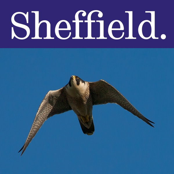 Peregrine Falcons at The University of Sheffield