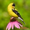 Popular Bird Calls and Songs - Wildtones