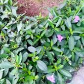 Plumas Coloradas