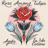 Ayala - Rose Among Tulips