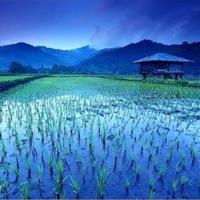 Rice Fields - Single