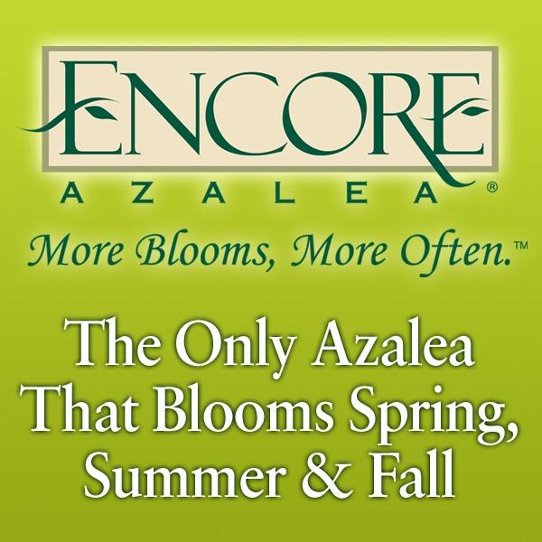 Encore Azalea®