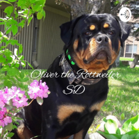 Oliver the Rottweiler SD podcast