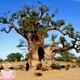 Baobab Trees Asked Me To Repeat What ?