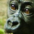 Baby Gorilla Blog