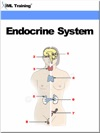 Endocrine System Human Body
