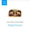 Anatomy flashcards: Male Pelvis