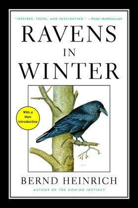 Ravens in Winter image
