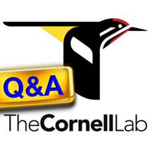 CornellLab Bird Q&A: Your birding questions answered