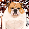 A Talking Fat Dog for iPad HD