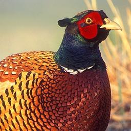 Pheasant Hunt Calls
