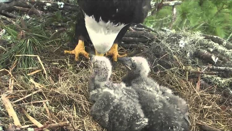 Bald Eagle Cams