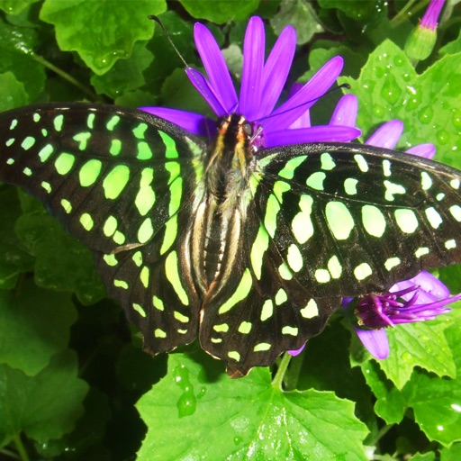 Beautiful Butterflies: Faeries of Nature