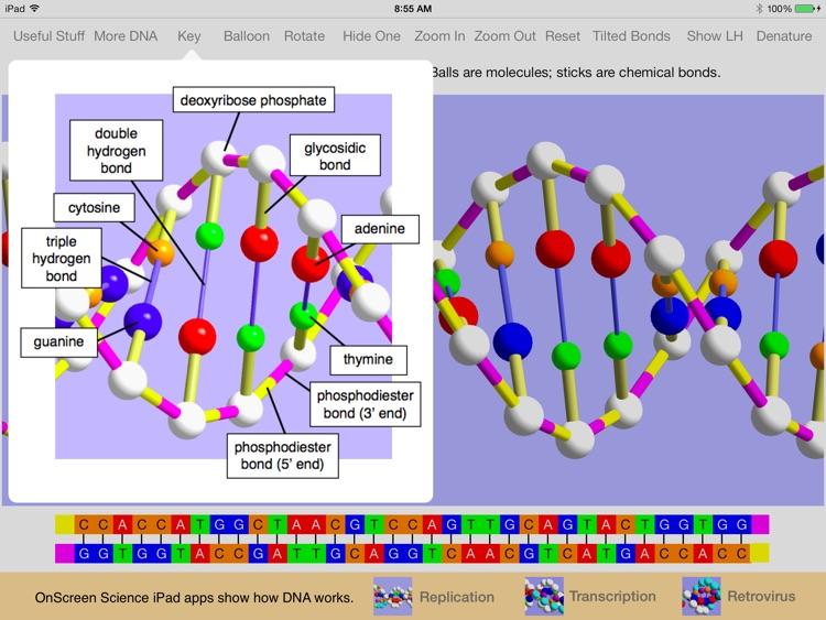 OnScreen DNA Model screenshot-3