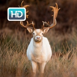 Deer Hunting HD Wallpapers & backgrounds Themes