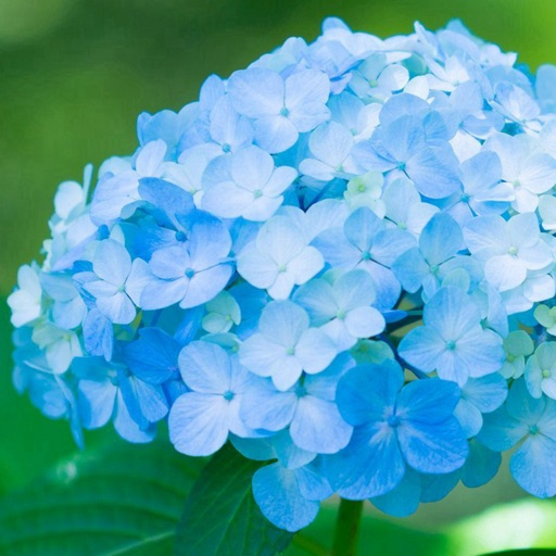 Hydrangea Wallpapers HD- Quotes and Art Pictures