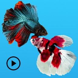 Animated Fighting Fish Sticker