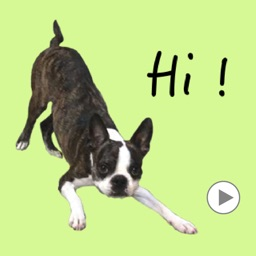 Boston Terrier Animation