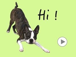 Boston Terrier Animation