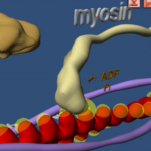 Muscle and Molecular Motors