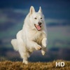White German Shepherd Reviews