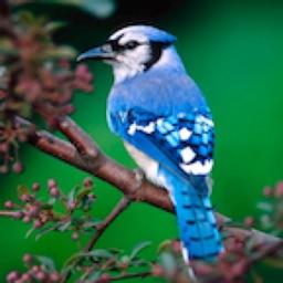 Birds Songs App, ornithology