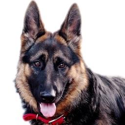 German Shepard Dog Sounds!