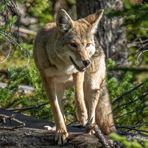 Ultimate Coyote Calls