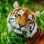 Asian Tiger Survival Simulator