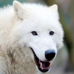 Arctic Wolf Survival Simulator