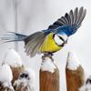 Vinterfåglar Inpå knuten.