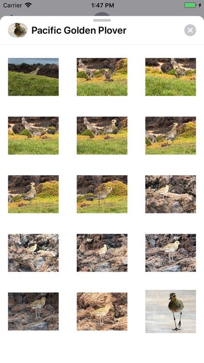 Pacific Golden Plover screenshot-3