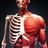 人体解剖・アトラス 3D:筋肉と骨格