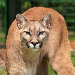 Puma Sounds