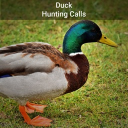 Duck Hunting Calls!!