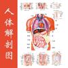 人体解剖图 - 全彩高清医学专业典籍