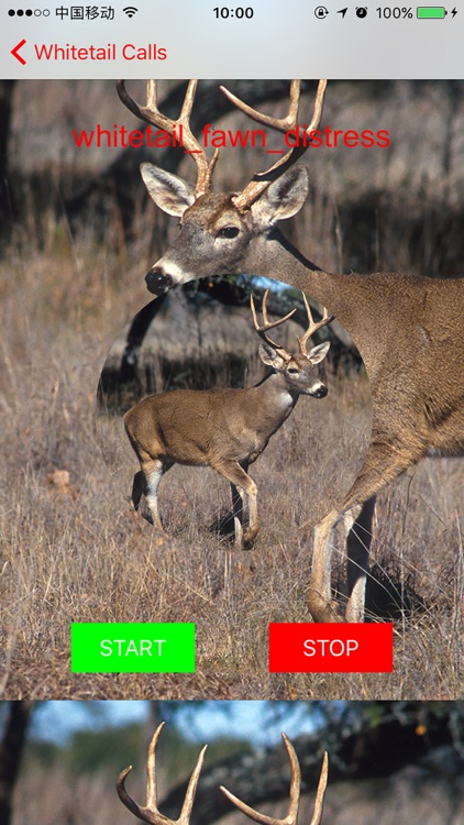 Whitetail Hunting Calls - Real Deer Sounds