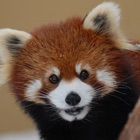 Asahiyama Zoo Calendar 2013 icon