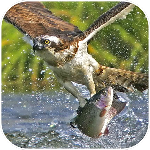 Sea Eagle Survival : Open Water Fish Hunting