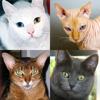 猫の品種: 猫のすべての人気のある品種につ...