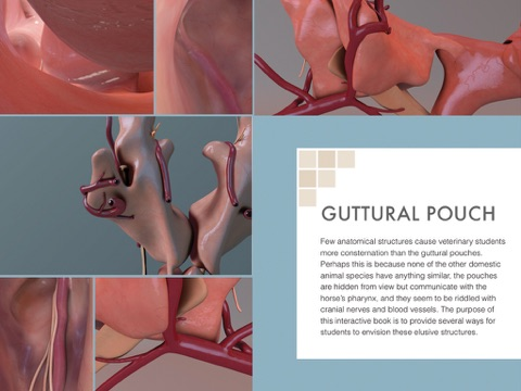 Anatomy of the Guttural Pouch by Educational Resources, University ...