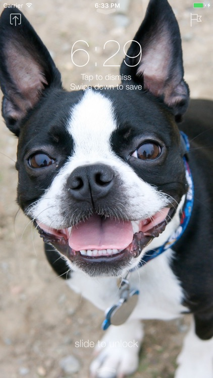 Boston Terrier Wallpapers Pro screenshot-3