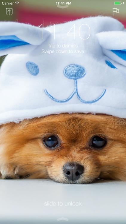 Pomeranian Dog Wallpapers Pro By Huy Nguyen