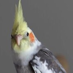 Cockatiel Sounds+ Bird Sounds!