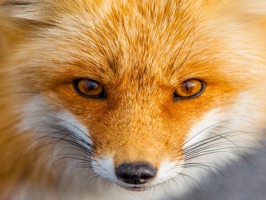 Amazing Foxes HD