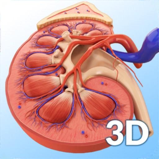 My Kidney Anatomy