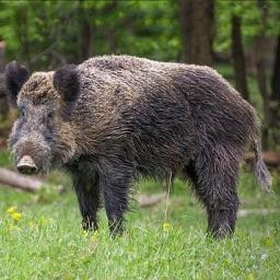 Hog Hunting Calls