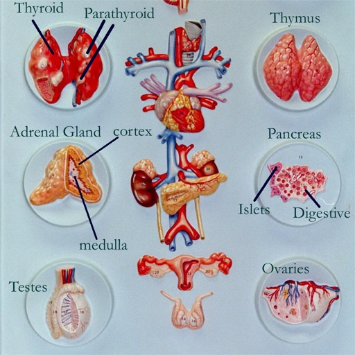 Anatomy : Endocrine System icon
