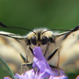 Bioblitz Fjärilar i Sverige