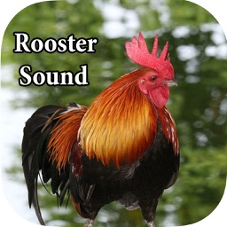 Rooster Sound – Rooster Crowing Sound